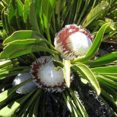 snow-proteas